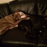 Fortune provides a lovely pillow for his fellow foster dog Tex