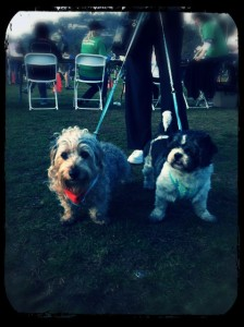 Tomato and his foster bro. Harley at the Race for the Rescues